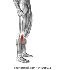 Conceptual 3D tibialis anterior human leg anatomy or anatomical muscle isolated on white background metaphor to body, tendon, fit, foot, strong, biological, gym, fitness, skinless, health medical