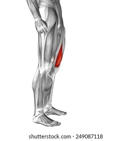 Conceptual 3D vastus medialis human upper leg anatomy or anatomical muscle isolated on white background, metaphor to body, tendon, fit, foot, strong, biological, gym, fitness, skinless, health medical