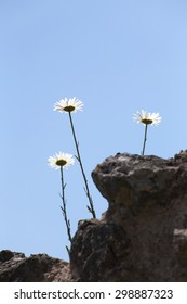 Conceptual back lit shot of three daisy family plants growing into the blue sky.