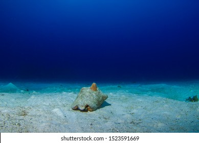 Conch living in their shells going about life on the sandy ocean floor. This pic was taken by a scuba diver in the Cayman Islands
