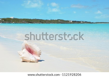 Conch on the beach. Exuma, Bahamas