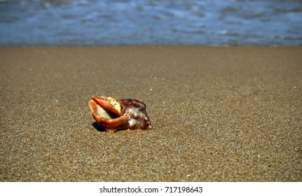 Conch on the shore of the beach in summer