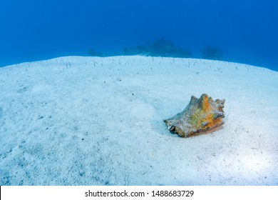 A conch searches for marine plants and algae to eat with brown garden eels in the background in the clear waters of the Turks and Caicos islands.