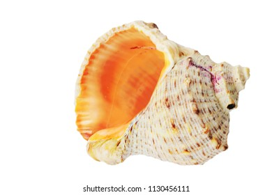 Conch seashell isolated on white background