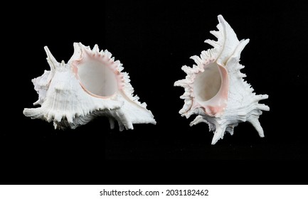 The conch shell in any act on black background, isolate background