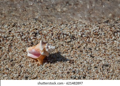 Conch shell on Bahamian beach with sand, ocean, and shells