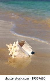 conch shell on a beach