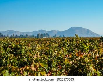 Concha y Toro Vineyard, Pirque, Santiago Metropolitan Region, Chile