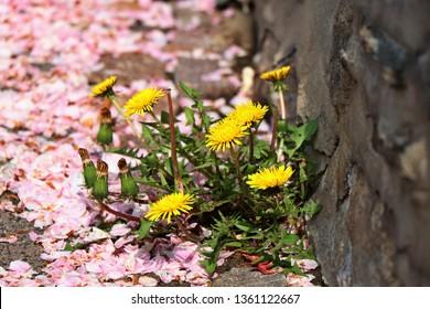Concrete flowers. Dandelions grow through a crack in a concrete. Pink fallen sakura petals on the floor.