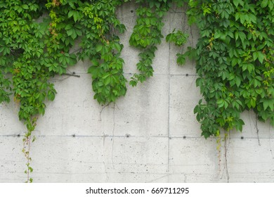 concrete and nature leafs vine hanging on wall ornamental garden