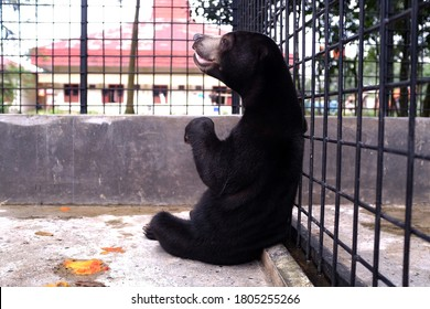 The condition of sun bears that were rescued by BBKSDA Riau, Pekanbaru, Indonesia improved, Thursday (25/1/2018). His right hand was amputated because he was caught in a pig trap.