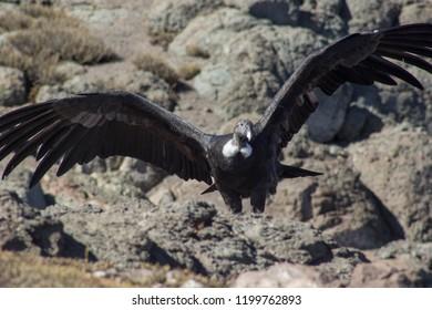 a condor in Andes Mountains, Santiago, Chile