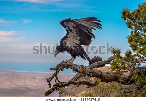 Condors in the forest