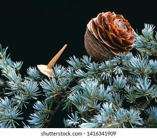 cone of Atlas Cedar on black background
