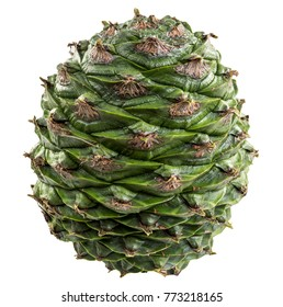 The cone of the bunya pine, Araucaria bidwillii, is a large fruit 20-35 cm in diameter and when mature release large 3-4 cm seeds or nuts. It is found naturally in south-east Queensland, Australia.
