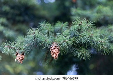 Cone of a Douglas fir (Pseudotsuga menziesii)