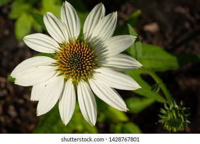 Coneflower (Echinacea purpurea), flowers of summer