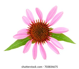 Coneflower or Echinacea purpurea with leaf isolated on white background