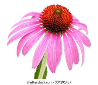 Coneflower (Echinacea purpurea) Single blossom with petals backward freely placed, close