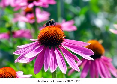 Coneflower with honey bee, Echinacea angustifolia