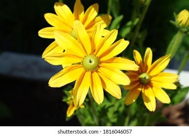 Coneflower - Rudbeckia hirta Sunbeckia Olivia