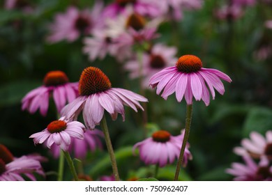 Coneflowers close-up with selective focus, growing in a garden.