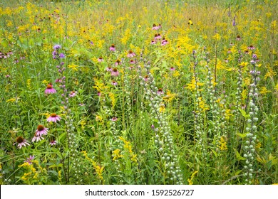 Coneflowers, goldenrod and blazing star combine to create a bouquet of native wildflowers in a restored prairie.