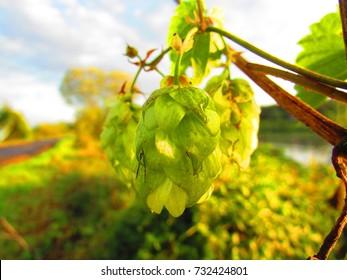 cones of common hop, Humulus lupulus,