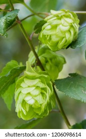 Cones of common hops - humulus lupulus - used to flavour and preserve beer