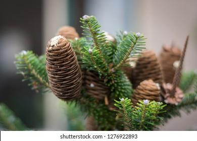 Cones of Korean fir (Abies koreana) with resin