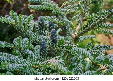 The cones on the branches of spruce (Abies koreana Silberlocke) grow vertically. Cones grow on branches with twisted needles. Sunny day. Nature concept for design