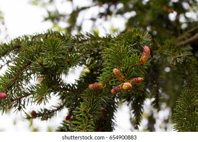 Cones on spruce