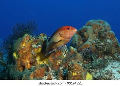 Coney (Cephalopholis fulva) - Cozumel, Mexico