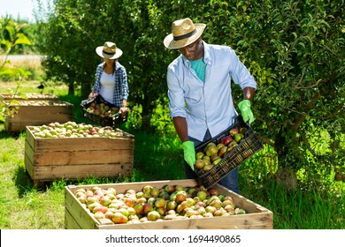 Confident African American man engaged in picking of pears in orchard, laying harvested fruits in wooden boxes
