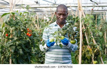 Confident African-American farmer working in greenhouse, cultivating organic tomatoes