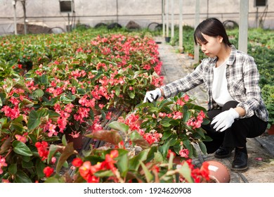 Confident chinese female on plantation of begonia in her greenhouse. High quality photo