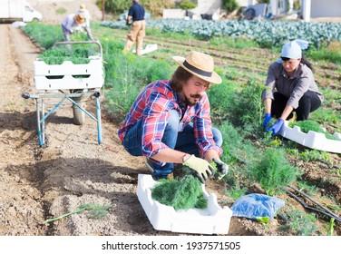 Confident farmer gathering crop of fresh dill on farm field. Autumn harvest time