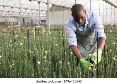 Confident male florist with a carnations plants in the hothouse