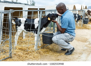 Confident man feeding calves while working of dairy farm