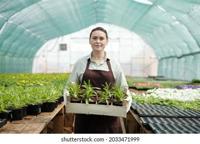 Confident mature woman with box of green flower seedlings standing in aisle of large hothouse