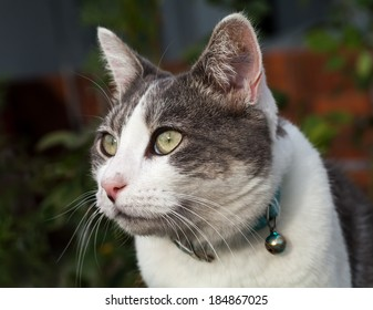 Confident white and grey tabby cat with blue collar and bell guarding her home territory