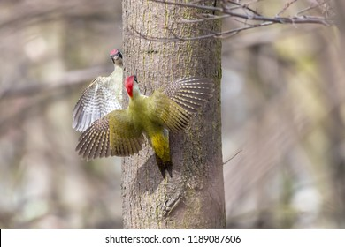 Confrontation between two birds. European green woodpeckers (Picus viridis), females, perching with spread wings opposite one another on tree trunk with blurred background.
