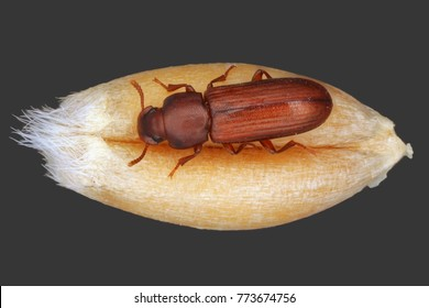 The confused flour beetle Tribolium confusum is a type of darkling beetle known as a flour beetle, is a common pest insect in stores and homes known for attacking and infesting stored flour and grain.