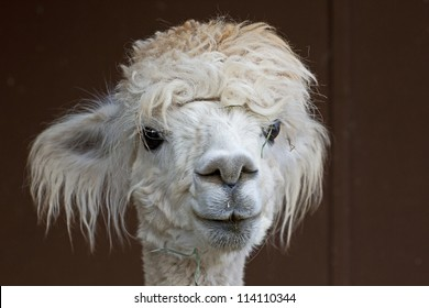 A confused looking white alpaca (Vicugna pacos)  with grass in her hair