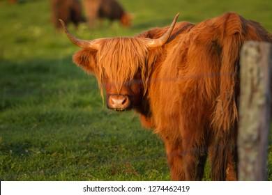 Confused Scottish Highland Cow.