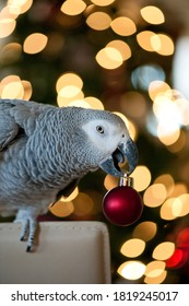 Congo African grey parrot in front of christmas tree holding ornament in his beak looking at camera