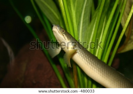 Congo Bichir Fish Looks Like Eel Stock Photo Edit Now 480033