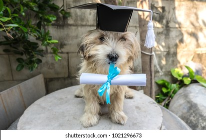 Congratulations to graduates of Naughty subjects. Cute little dog with graduation hat and graduated diploma dog,copy space. back to school concept.