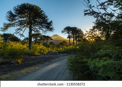 Conguillio's road and araucarias with Llaima volcano on background
