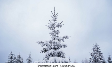 conifer covered in snow, natural growing Christmas tree